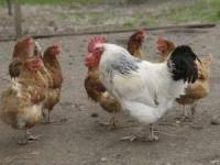 Fugleinfluensa