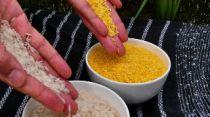 Gylden Ris