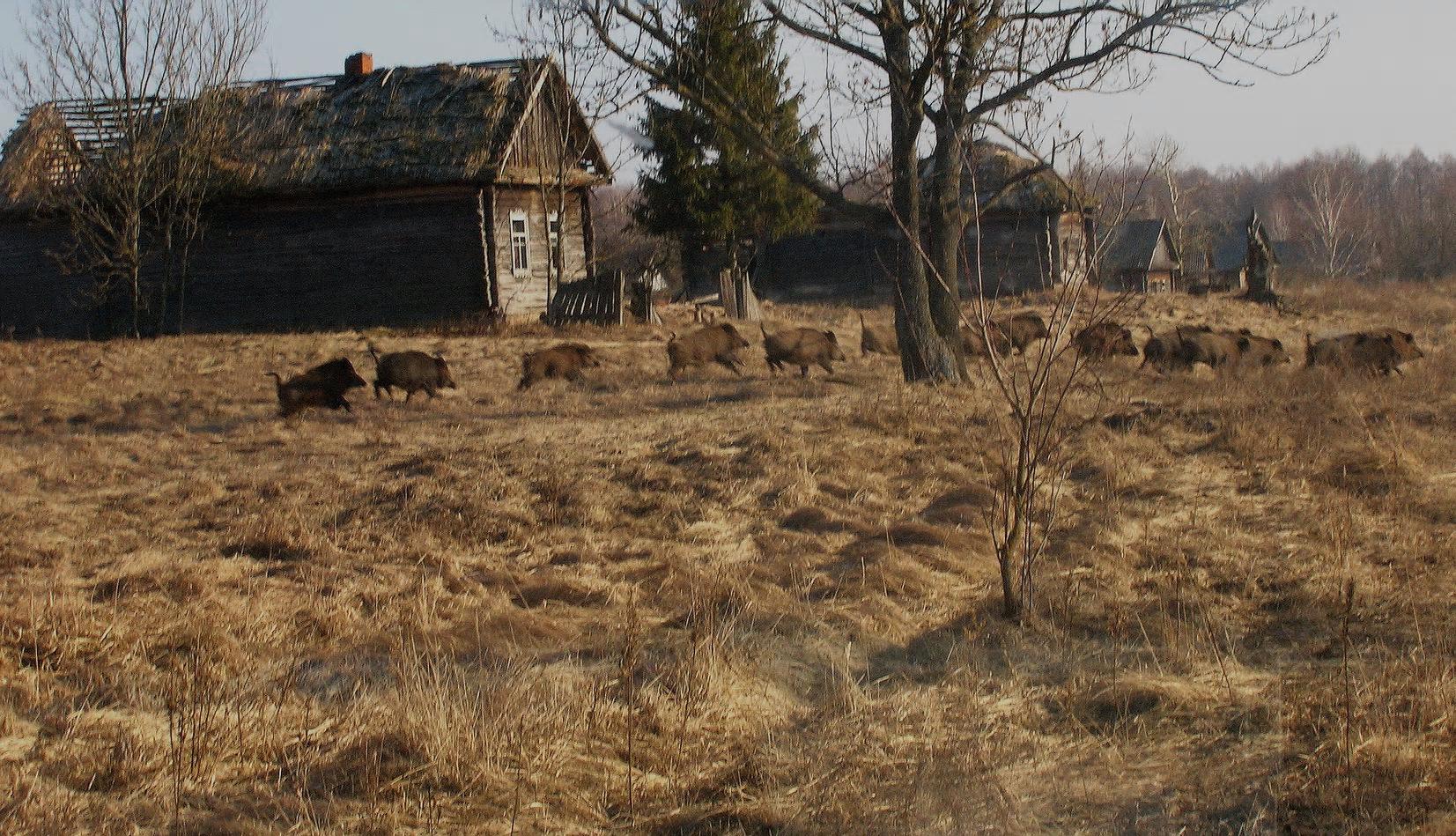 Tjernobyl dyreliv.png
