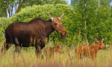 Dyr ved Tjernobyo